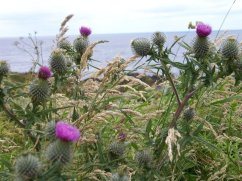 thistles-in-bloom